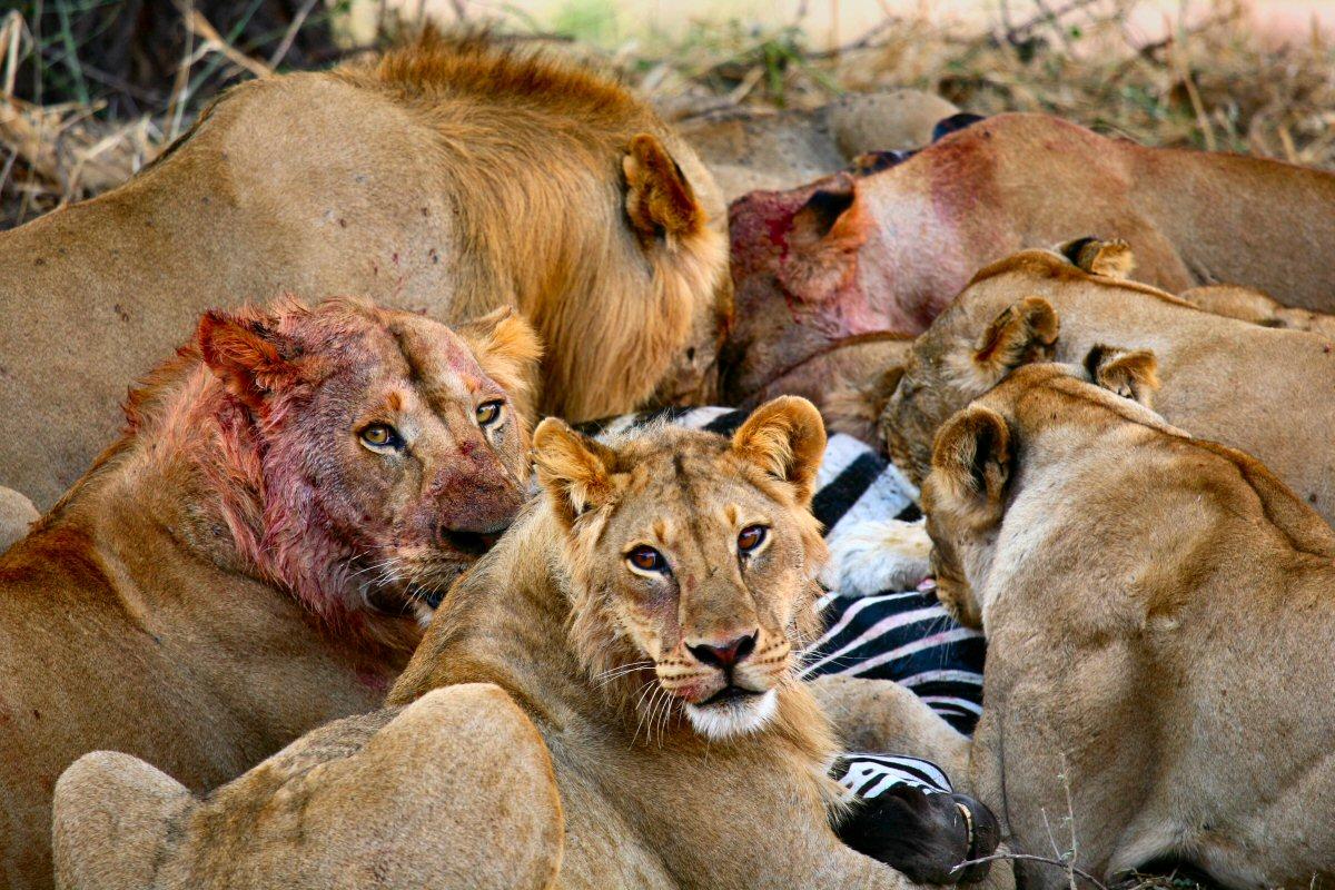 lionsfeeding1